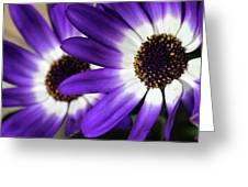 Two Purple N White Daisies Greeting Card