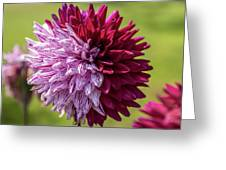 Two Sides Of Dahlia  Greeting Card
