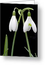 Two Snow Drops Greeting Card