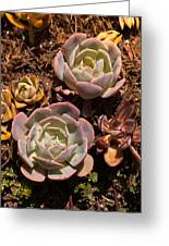 Two Succulents  Greeting Card