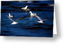 Two Terns A Fly Greeting Card