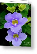 Two Thunbergia With Dew Drops Greeting Card