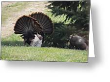 Two Tom Wild Turkeys Sparring To Impress A Hen Greeting Card