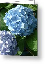 Two-toned Hydrangeas Greeting Card