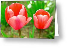 Two Tulips In Bloom  Greeting Card