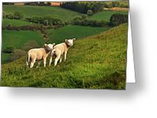 Two Welsh Lambs Greeting Card