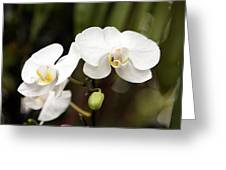Two White Orchids Greeting Card
