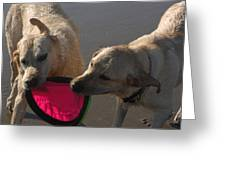 Two Yellow Labs Tug At The Frizbee Greeting Card