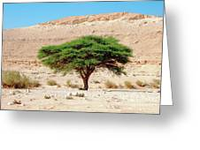Umbrella Thorn Acacia, Negev Israel Greeting Card