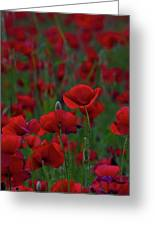 Umbria  Poppies 2 Greeting Card