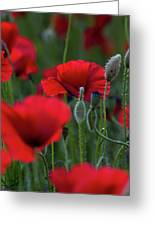 Umbria Poppies Greeting Card