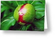 Unexploded Peony Greeting Card