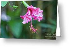 Unfolding Of A Hibiscus Greeting Card