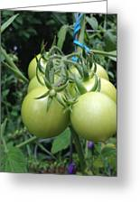 Unripe Cherry Tomatoes  Greeting Card