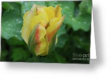 Unusual Yellow Tulip With Dew On The Petals Greeting Card