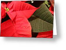 Up Close And Personal Poinsettia  Greeting Card