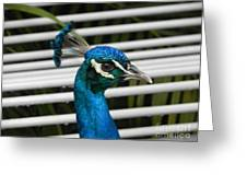 Up Close Peacock Greeting Card