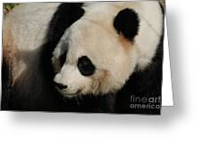 Up Close With A Gorgeous Giant Panda Bear Greeting Card