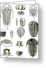 Upper Cambrian Trilobites Greeting Card