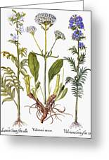 Valerian Flowers, 1613 Greeting Card