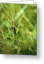 Vanessa Atalanta Red Admiral Butterfly Larvae Greeting Card