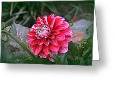 Variegated Colored Dahlia Greeting Card