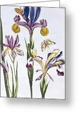 Variegated Iris Greeting Card
