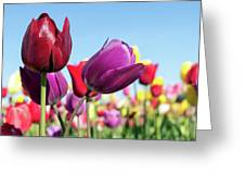 Velvet Red And Purple Tulip Flowers Closeup Greeting Card