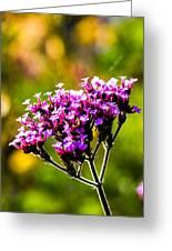 Verbena Bonariensis Evening Light Greeting Card