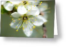 Vermont Apple Blossom Greeting Card