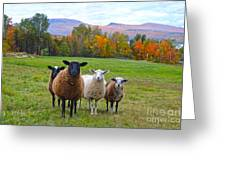 Vermont Sheep In Autumn Greeting Card