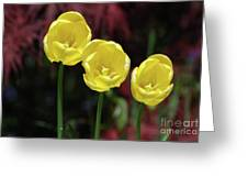 Very Blooming And Flowering Trio Of Yellow Tulips Greeting Card