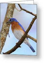 Very Bright Young Eastern Bluebird Perched On A Branch Colorful Greeting Card