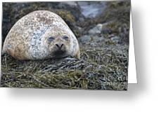 Very Chubby Harbor Seal Greeting Card