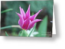 Very Pretty Blooming Pink Spikey Tulip Flower Blossom Greeting Card