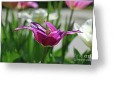 Very Pretty Blooming Purple Tulip With Spikey Petals Greeting Card