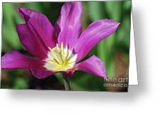 Very Pretty Dark Pink Blooming Tulip With Yellow In The Center Greeting Card