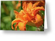 Very Pretty Double Orange Daylily Flowering In A Garden Greeting Card