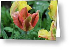Very Pretty Flowering Pink And Green Striped Tulip Greeting Card