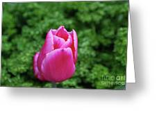 Very Pretty Garden With A Dark Pink Tulip Greeting Card