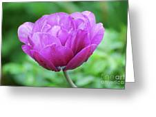 Very Pretty Lavender And Pink Tulip Blossom Flowering Greeting Card