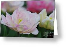 Very Pretty Pale Pink Parrot Tulip Flower Blossom Greeting Card