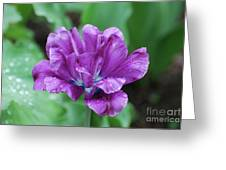 Very Pretty Purple Tulip With Dew Drops On The Petals Greeting Card