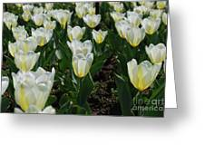 Very Pretty Spring Garden With Flowering White Tulips Greeting Card