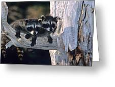 Very Young Raccoons Greeting Card