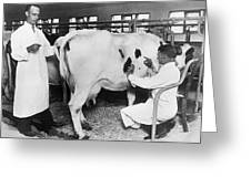 Vets Give Cow A Physical Greeting Card