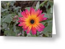 Vibrant African Daisy Greeting Card