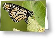 Viceroy Butterfly Greeting Card