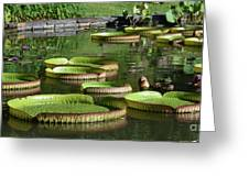 Victoria Amazonica Giant Lily Pads  Greeting Card
