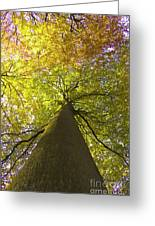 View To The Top Of Beech Tree Greeting Card